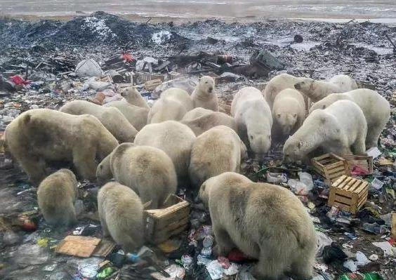 正在垃圾堆里找食物的北极熊